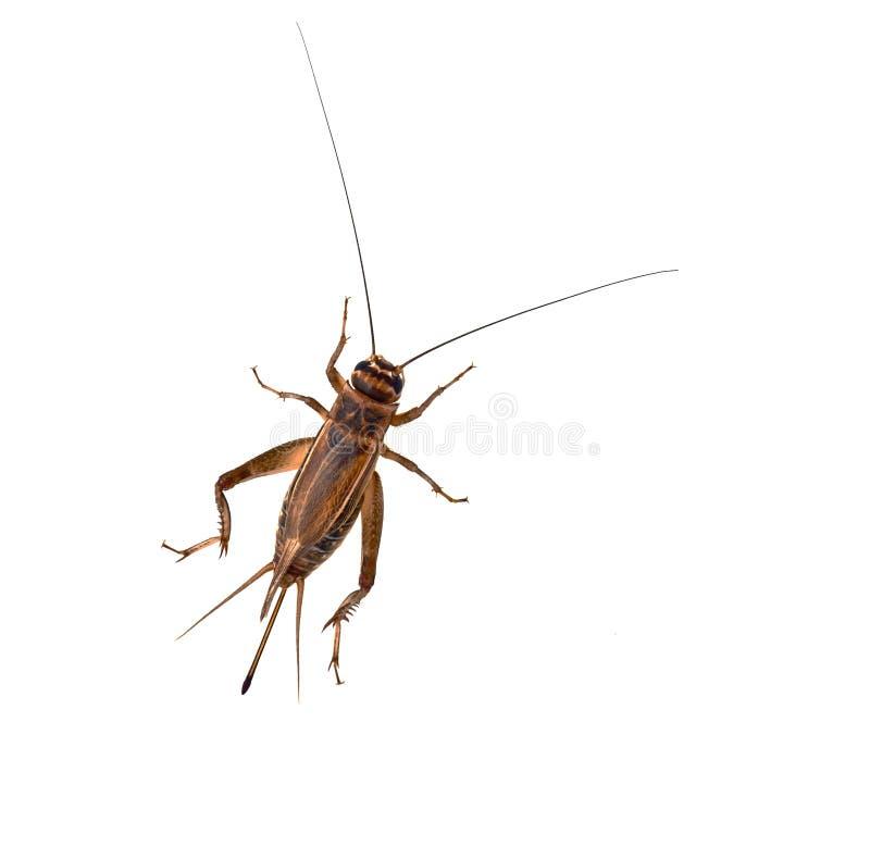 背景蟋蟀白色 免版税图库摄影