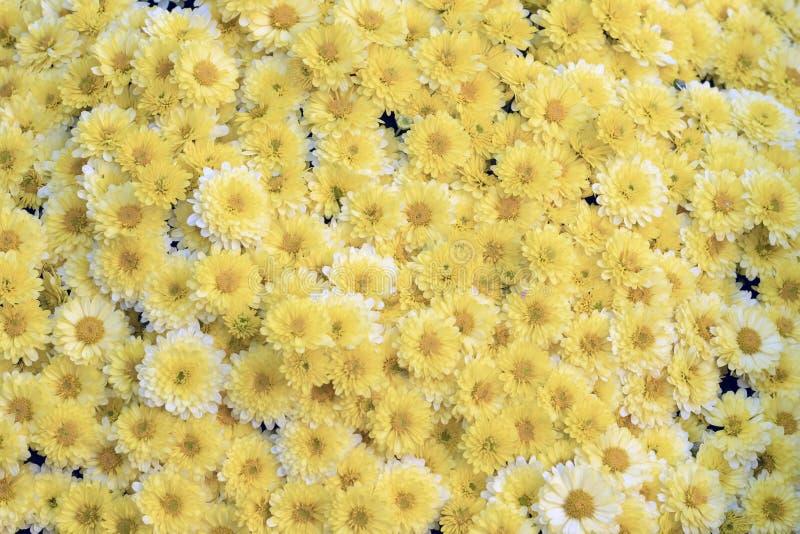 背景许多黄色菊花 免版税图库摄影
