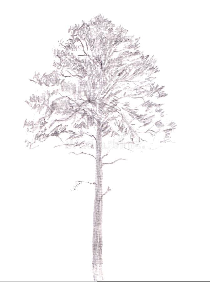 背景贝加尔湖湖杉树 在白色背景隔绝的石墨图画 象查找的画笔活性炭被画的现有量例证以图例解释者做柔和的淡色彩对传统 铅笔剪影 库存例证
