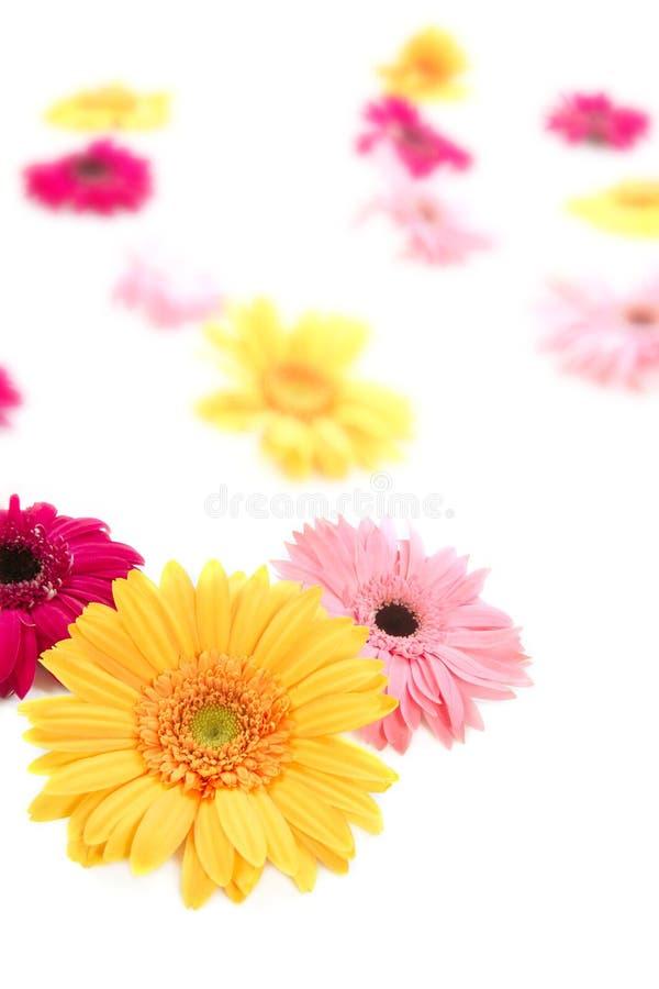 背景迷离五颜六色的花大丁草 库存图片