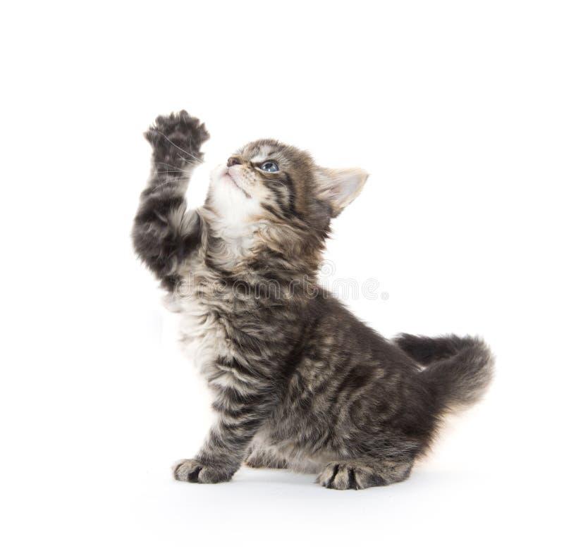 背景逗人喜爱的小猫平纹白色 免版税库存图片