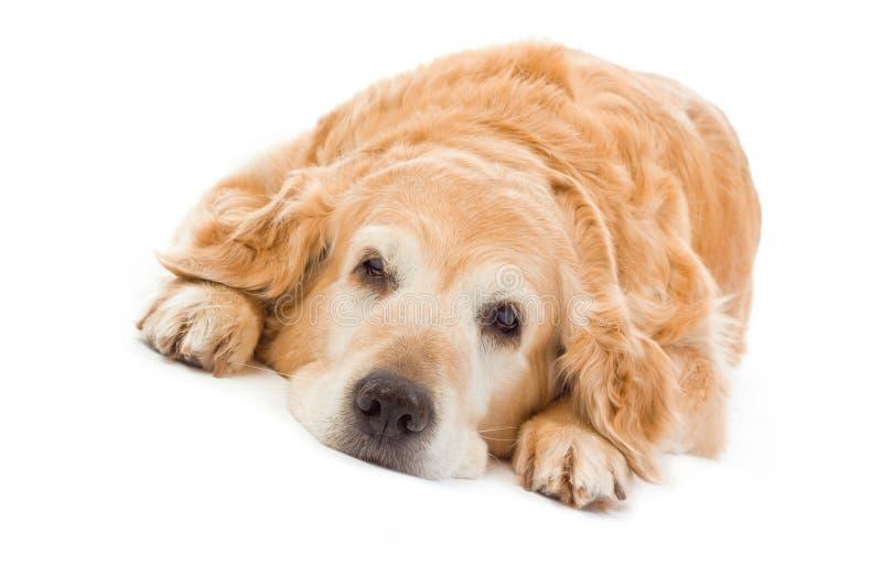 背景金毛猎犬白色 库存图片