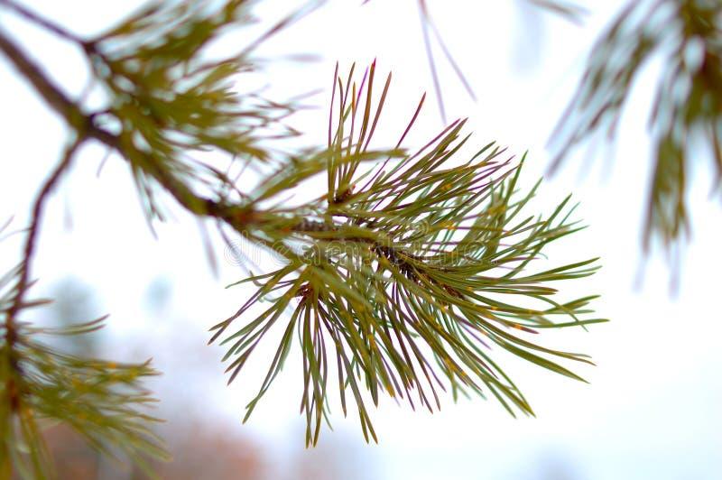 背景针叶树雪冬天 库存图片