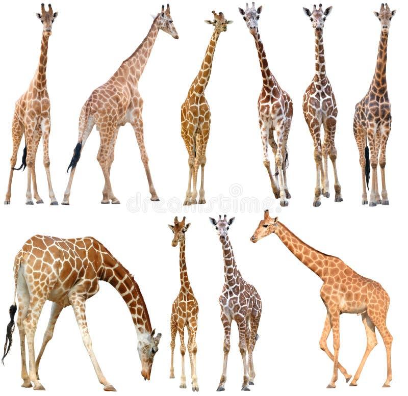 背景长颈鹿查出的白色 免版税库存照片