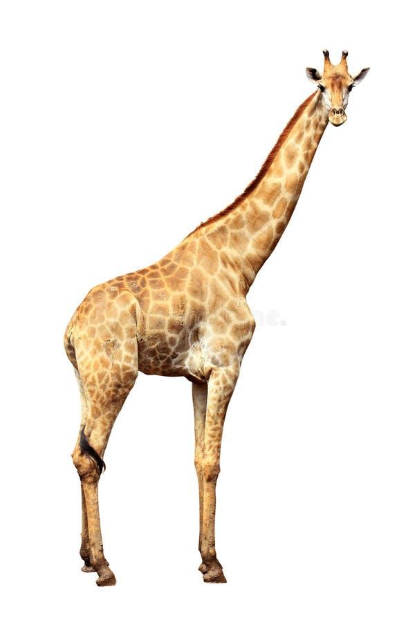 背景长颈鹿白色 免版税库存图片