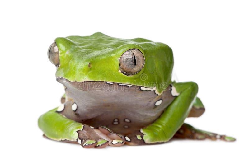 背景青蛙巨型叶子白色 库存图片