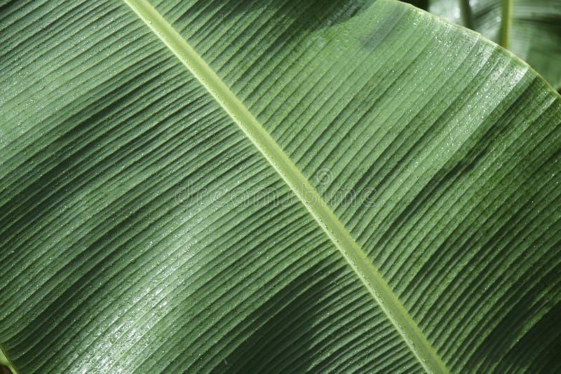 背景香蕉绿色叶子 库存照片