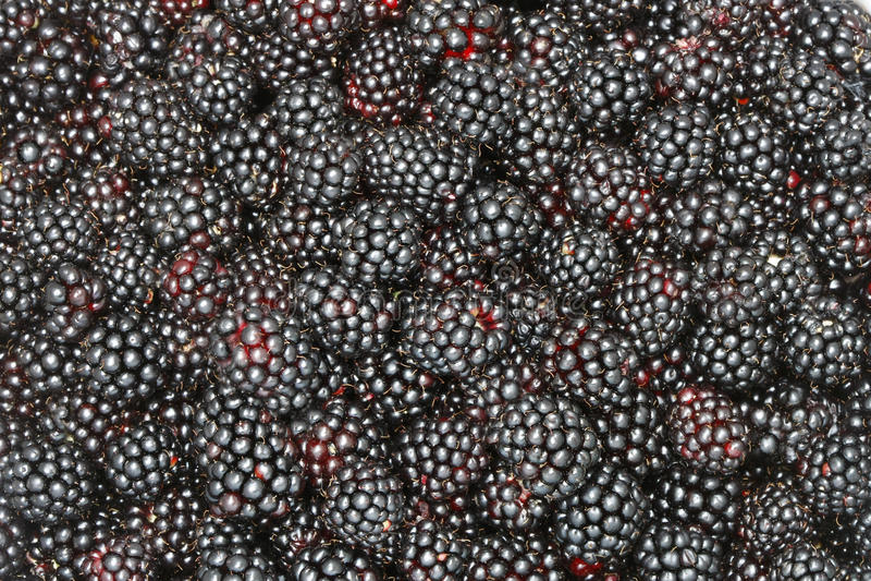 背景黑树莓 免版税库存图片