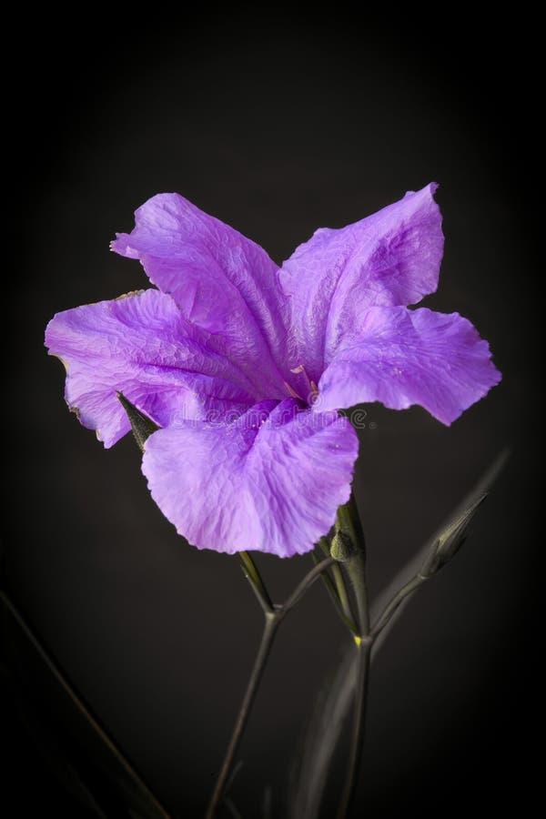 背景黑色墨西哥喇叭花紫罗兰 库存照片
