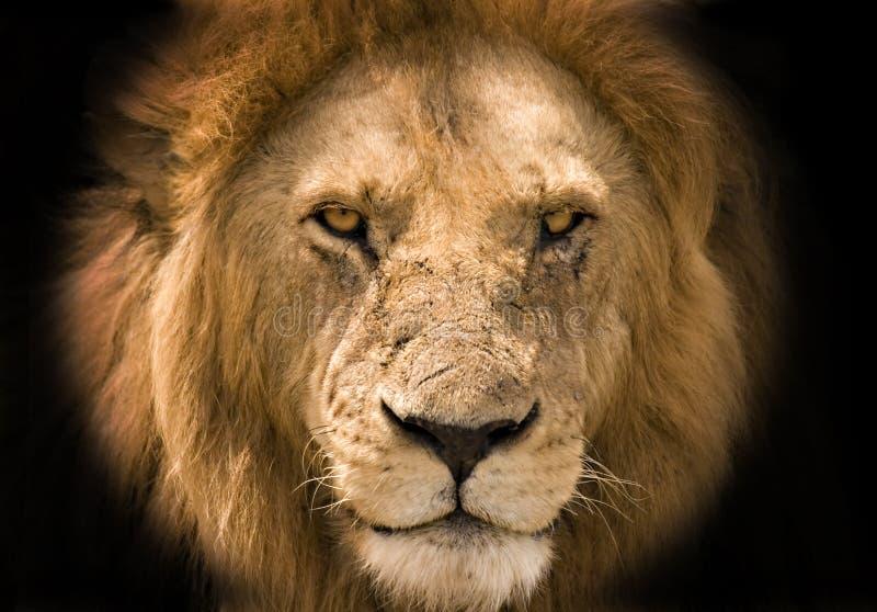 背景黑色狮子 免版税图库摄影