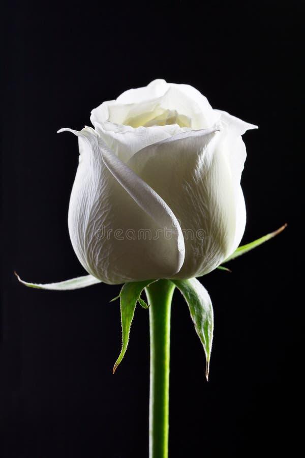 背景黑色玫瑰白色 库存照片