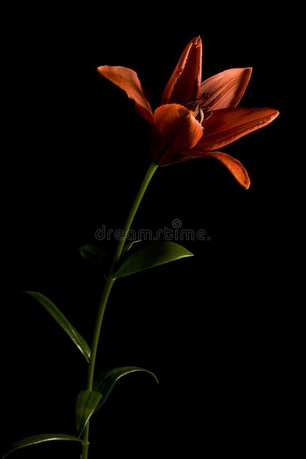 背景黑色lilly长期红色垂直 免版税库存图片