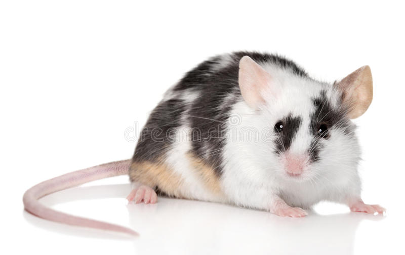 背景鼠标微小的白色 免版税图库摄影