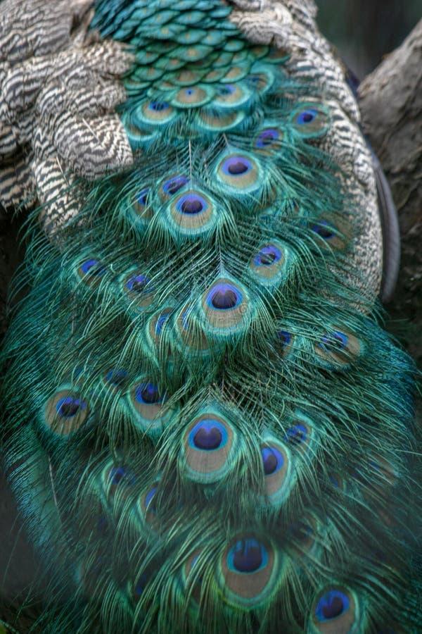 背景,墙纸,纹理 一部分的美好的孔雀尾巴关闭 图库摄影