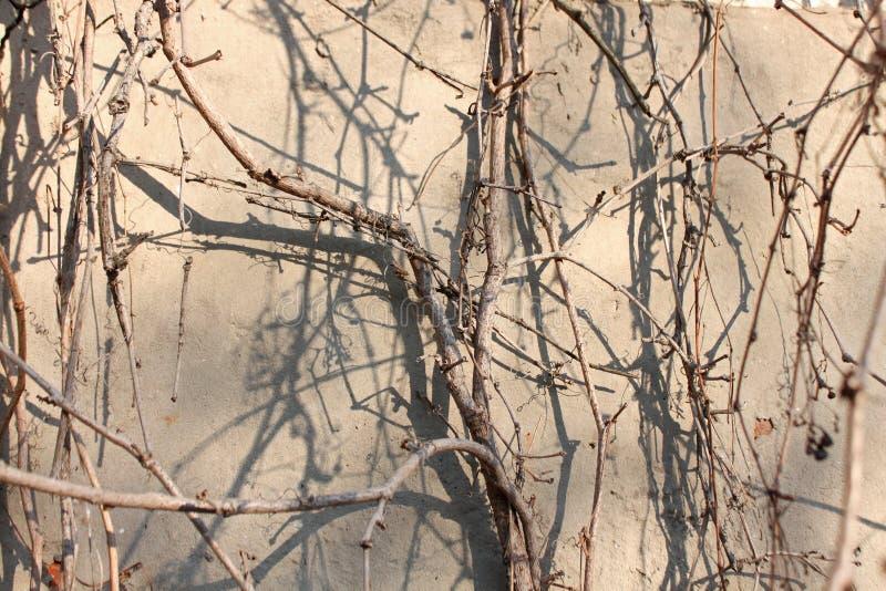 背景,狂放的葡萄的干燥分支的纹理 免版税库存照片