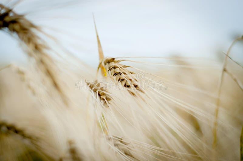 背景 域成熟麦子 免版税库存照片