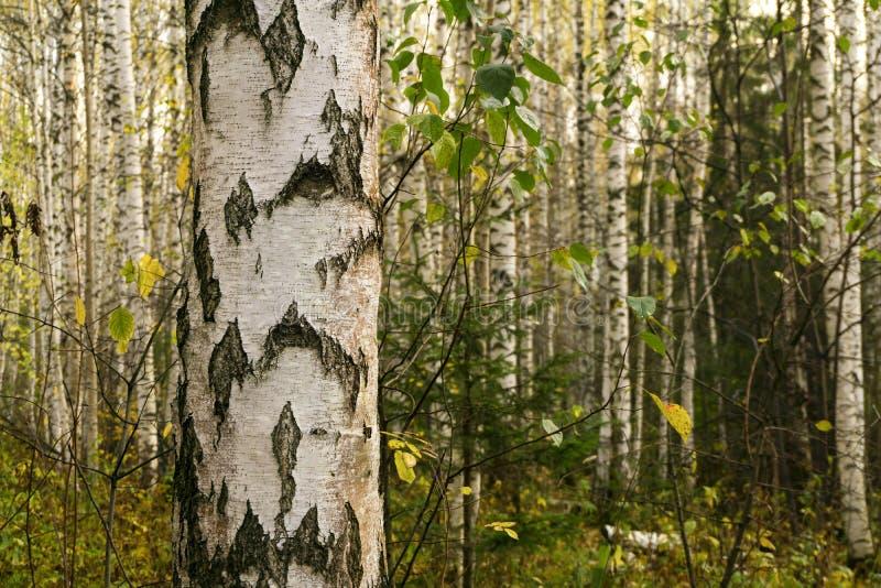 背景-桦树树丛 库存照片