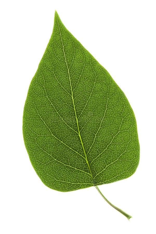背景绿色叶子白色 库存图片