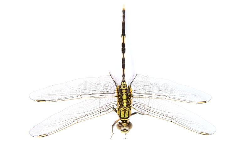 背景黑色塞西莉亚蜻蜓绿色ophiogomphus snaketail 绿色Snaketail蜻蜓 库存照片