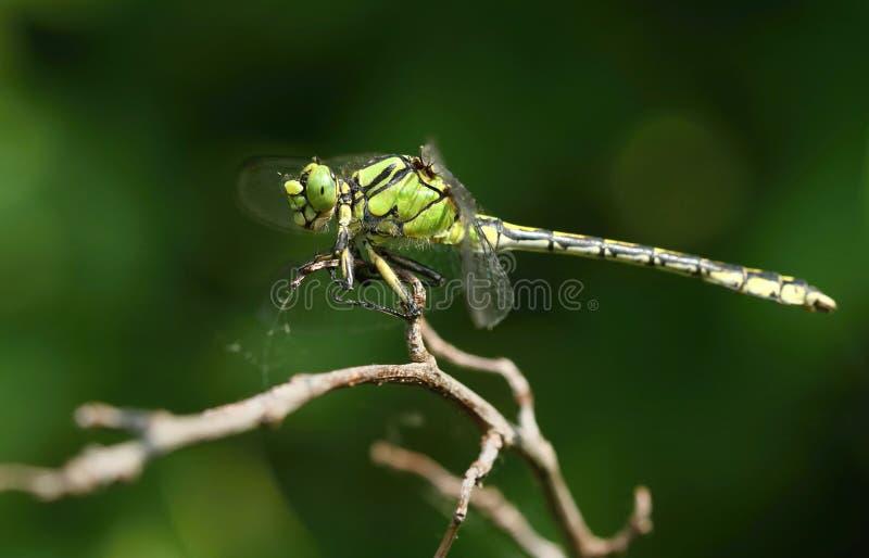 背景黑色塞西莉亚蜻蜓绿色ophiogomphus snaketail 免版税图库摄影