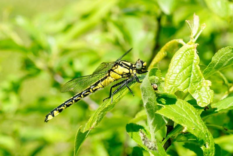 背景黑色塞西莉亚蜻蜓绿色ophiogomphus snaketail 免版税库存照片