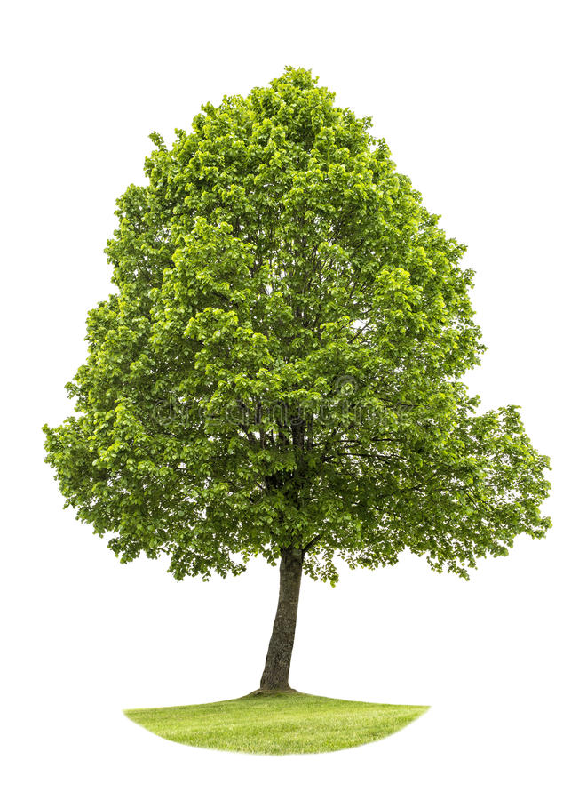 背景绿色查出的结构树白色 自然对象 免版税库存照片