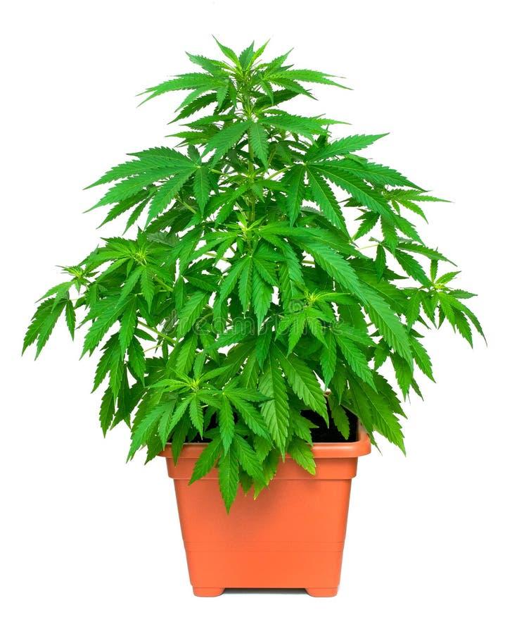 背景绿色留下大麻工厂白色 免版税图库摄影
