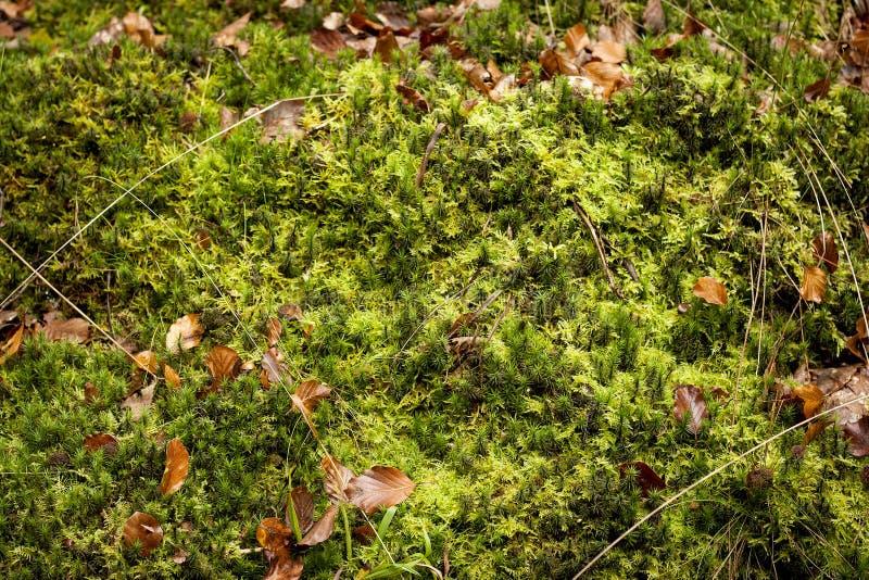 背景绿色青苔 库存图片