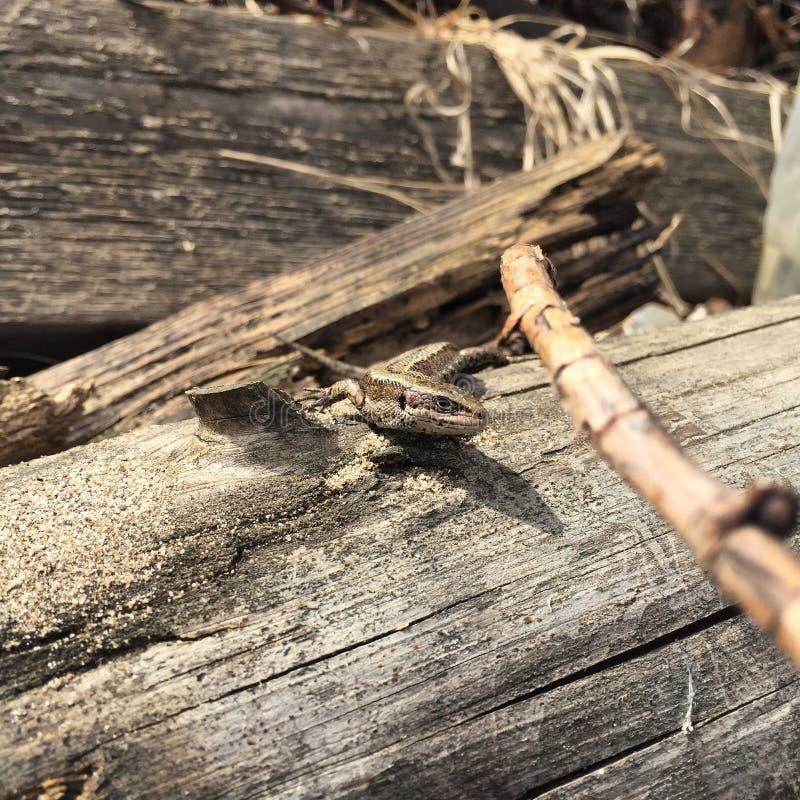 背景黑色chlamydosaurus kingii蜥蜴结构树 免版税库存照片