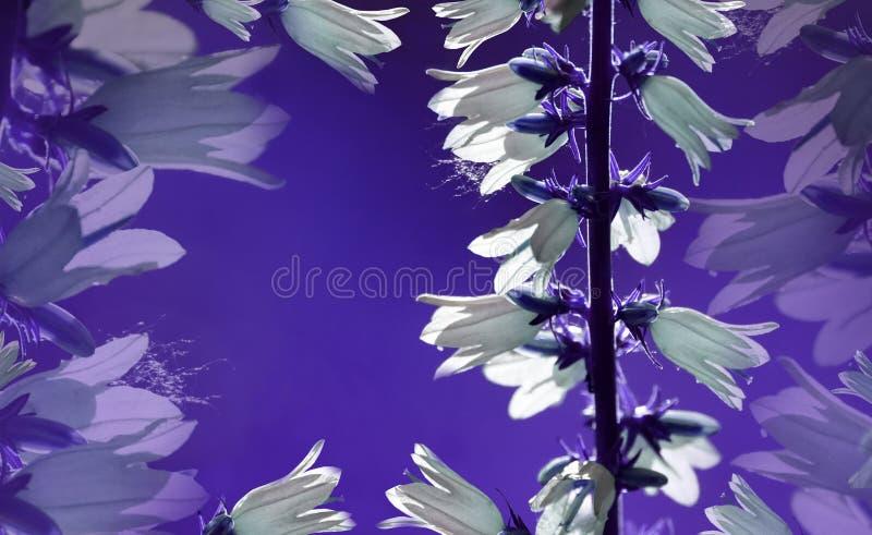背景细部图花卉向量 在紫罗兰色背景的白花响铃 花构成特写镜头 安置文本 免版税库存照片