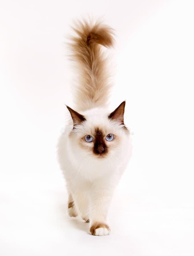 背景birman猫头状花序小猫红色神圣的郁金香黄色 免版税库存图片