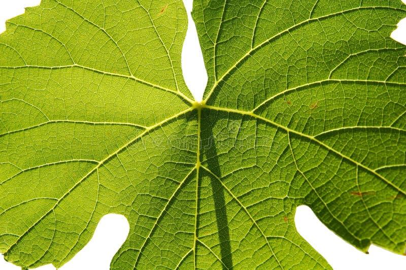 背景gamay查出的叶子白色 库存图片