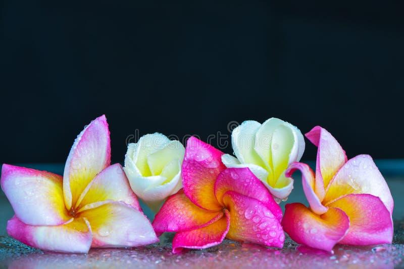 背景Plumeria1 免版税图库摄影