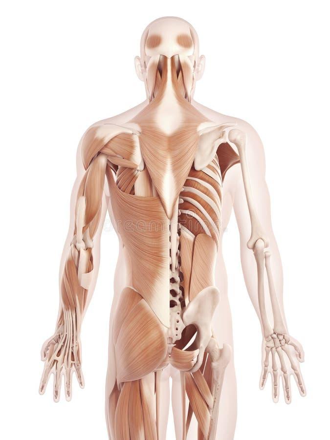 背部肌肉 向量例证