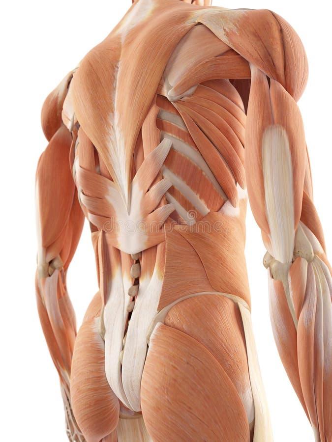 背部肌肉 皇族释放例证