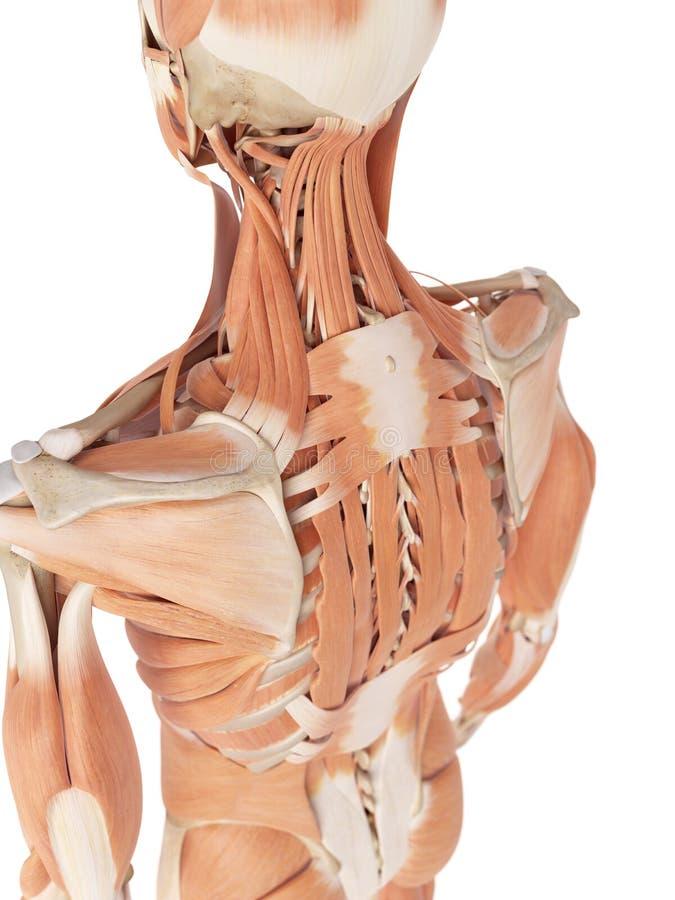 背部肌肉 库存例证