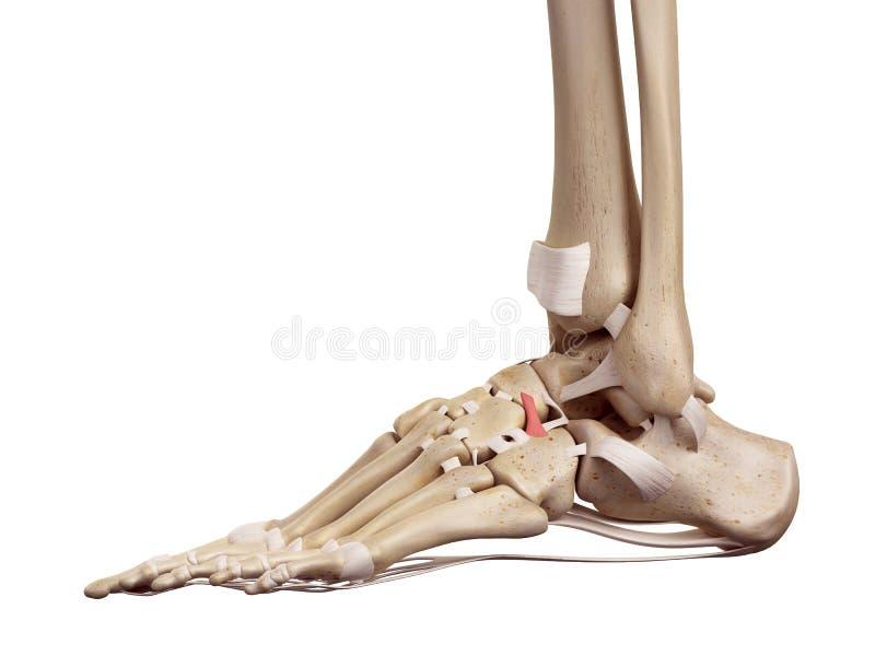 背部cuboideonavicular韧带 库存例证