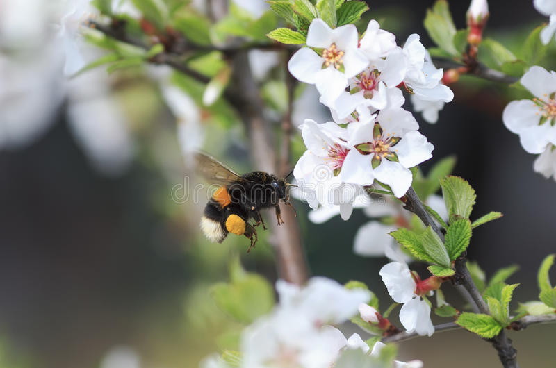 胖在豪华的春天庭院里弄糟蜂收集花蜜 免版税库存图片
