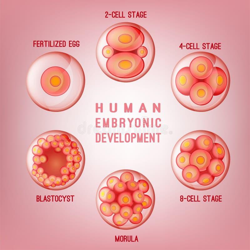 胚胎发展图象 库存例证