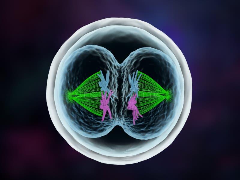 胚胎` s第一细胞分裂 库存例证