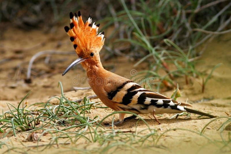 戴胜, Upupa epops,坐在沙子,与橙色冠,西班牙的鸟 美丽的鸟在自然栖所 从来自南方的风暴的动物 免版税库存图片