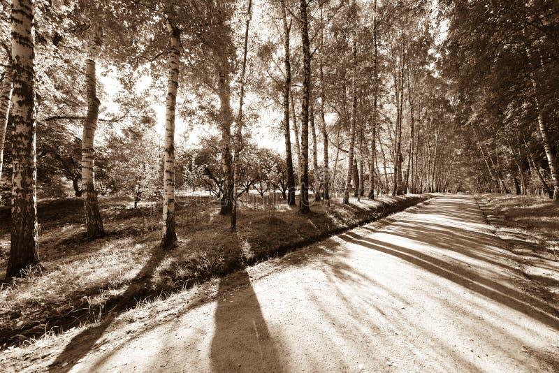 胡同桦树森林 库存照片