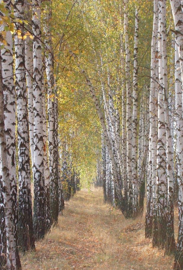 胡同桦树 库存图片