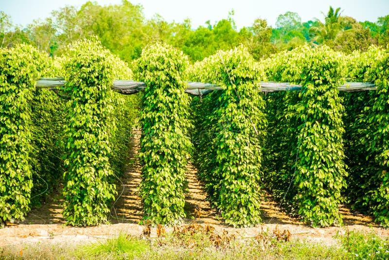 胡椒庭院农场, Phu Quoc海岛,越南 免版税库存照片