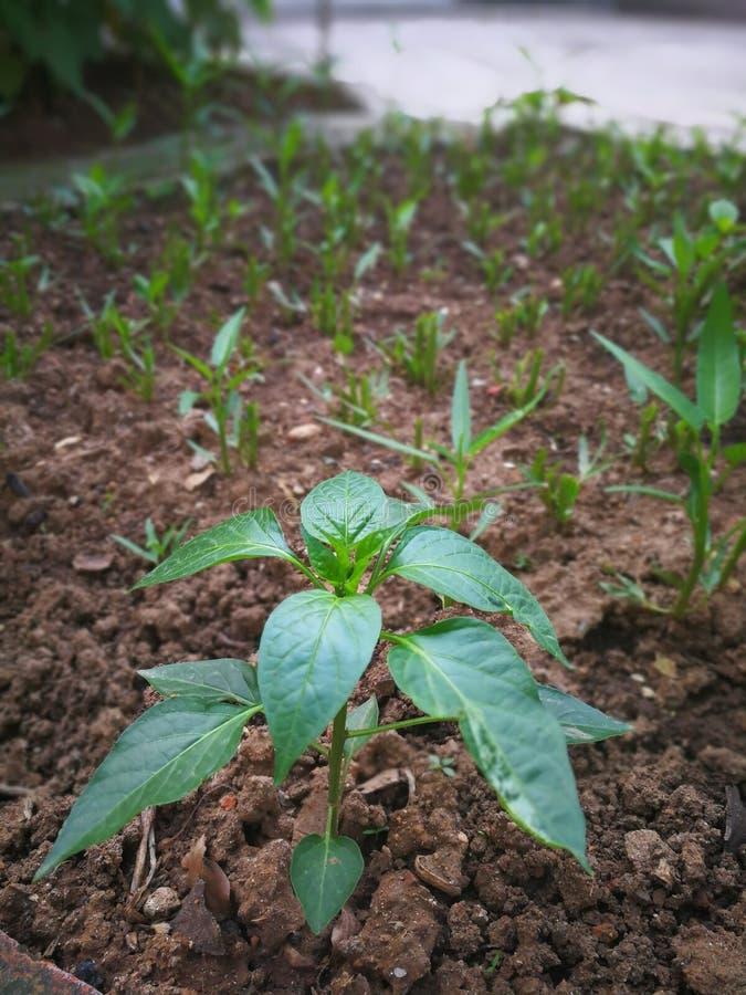 胡椒植物 免版税库存图片