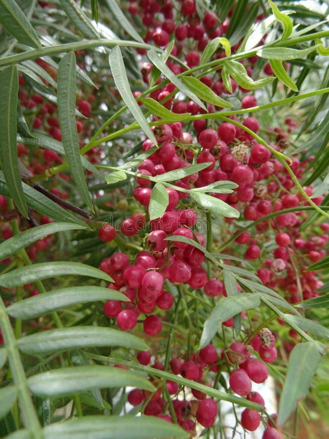 胡椒植物 免版税库存照片