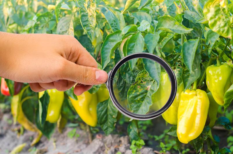 胡椒疾病是由Phytophthora Infestans病毒造成的 农业,种田,庄稼 菜疾病在领域的 mag. 库存照片