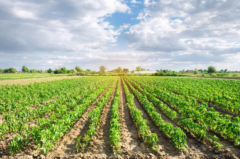 胡椒种植园在一个领域增长在一好日子 r 环境友好的产品 农业和种田 免版税库存照片