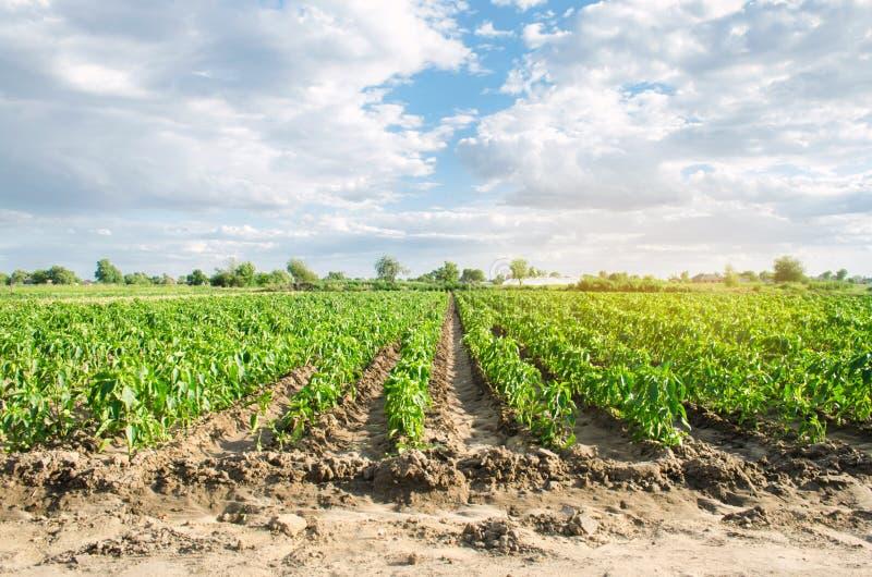 胡椒种植园在一个领域增长在一好日子 r 环境友好的产品 农业和种田 库存图片
