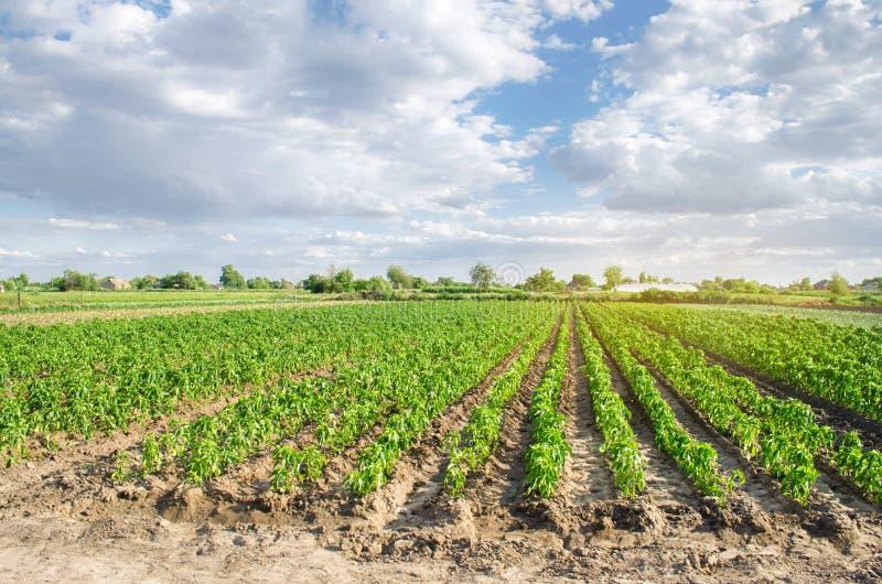 胡椒种植园在一个领域增长在一好日子 r 环境友好的产品 农业和种田 图库摄影